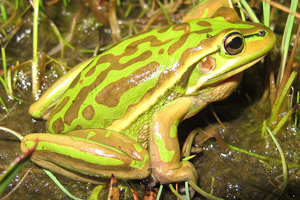 Green and golden bell frog gippsland water victorian for Frog consulting