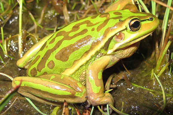 Green and Golden Bell Frog thumbnail